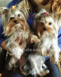 Yorkshire terrier (madrid)