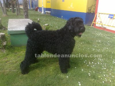 Terrier negro ruso disponible para montas