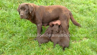 Labrador retriever oviedo