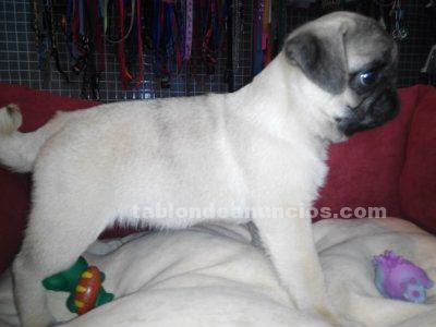 Carlinos, venta de cachorros en Murcia