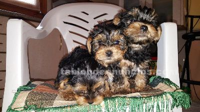Vendo cachors de yorkshire terrier