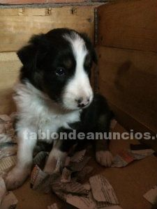 Vendo border collie con pedegree