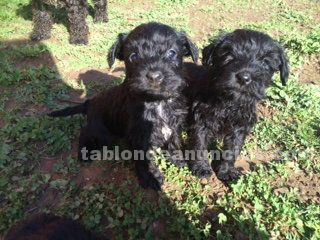 Preciosos cachorros schnauzer mini