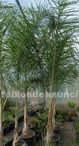 Vivero de palmeras en liquidaci�n