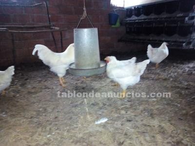 Huevos fertiles para incubar de pitas das neves
