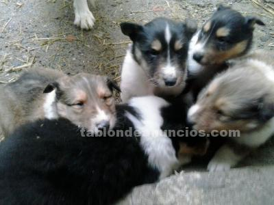 Cachorros rought collie.pastor escoces