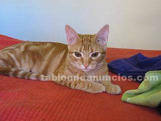 Hopy (nacimiento abril 2015), gatita en adopción madrid