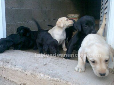 Labradores retrievers