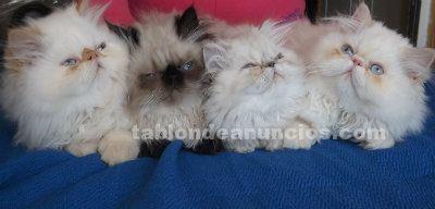 Camada gatitos persas himalayo