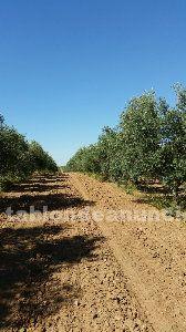 Fincas de olivos y de calmas de regadio