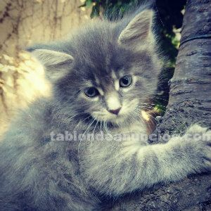 Cachorros maine coon