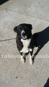 URGE VENDER CACHORROS BORDER COLLIE
