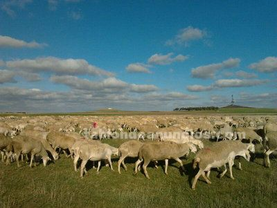 Se vende rebaño de ovejas