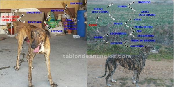 Disponible camada galgos