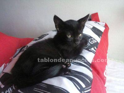 Willy fog gatito en adopción madrid. Nac. Julio/2016 neg felv/fiv