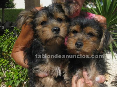 PERRITOS PUPPIES YORKSHIRE TERRIER
