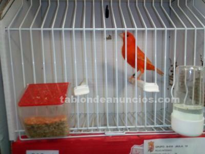 Canario color rojo