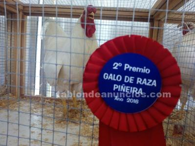 Gallos piñeiros blancos
