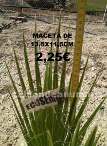 Palmeras washingtonia doña blanca yjerez