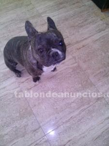 Se vende bulldog frances
