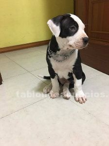 Pitbull terrier blue