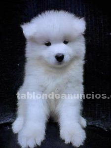 Espectaculare samoyedo disponible para adopción