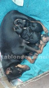 SE VENDEN MINI PINCHER ENANOS CON PEDIGREE