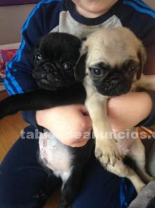 Preciosos cachorros de Pug .