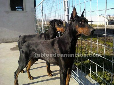 REGALA DOBERMAN POR NO PODER MANTENER