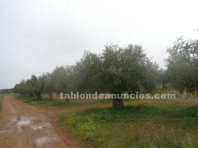Vendo olivar en cabezarados (ciudad real)