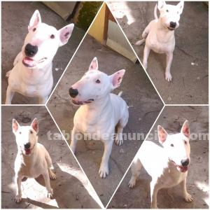 Bullterrier disponible monta
