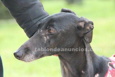 Hada (nacimiento 2011) galguita en adopción en madrid