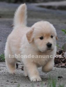 Cachorro golden retriever en adopcion