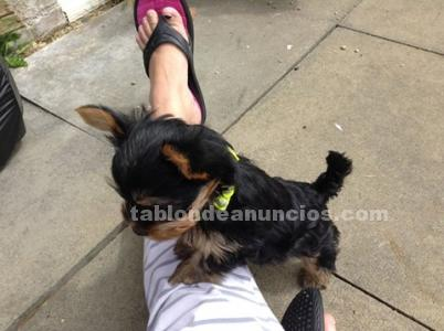 Adorable yorkshire terrier cachorros