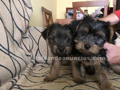 VENDO CACHORROS YORKSHIRE TERRIER
