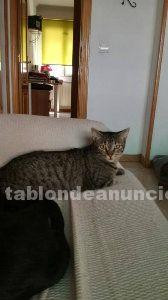 Susi (nac. 30/06/2016). Gatita en adopción comunidad de madrid