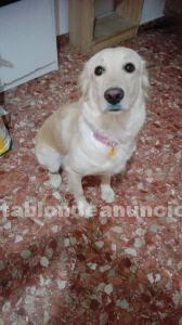 Se regala perra golden-retriever