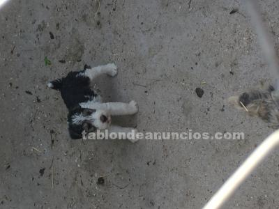 Vendo camada de fox terrier puros
