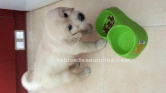 Vendo cachorro de golden retriever