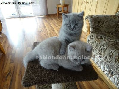 PRECIOSOS GATITOS BRITISH SHORTHAIR