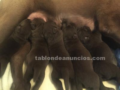 CACHORROS LABRADOR RETRIEVER CHOCOLATE
