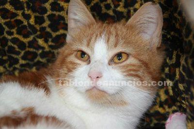 GRETA, gata en adopción Madrid. Nacimiento septiembre/2016