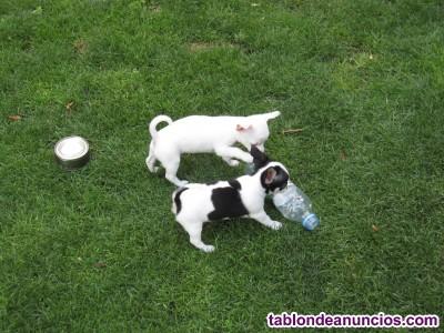 Cachorritos de chihuahua