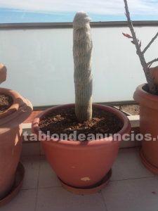 Cactus viejitos - Cabeza de Viejo