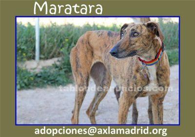 MARATARA. Galga en Adopción