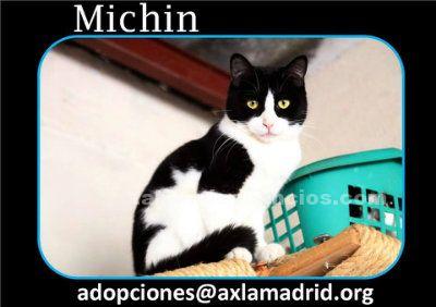 Michin. Gato en adopción