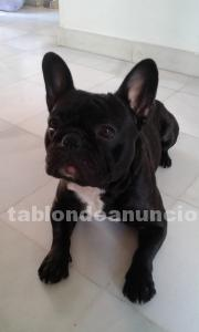 Cachorrita bulldog frances