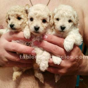 CACHORROS CANICHE TOY