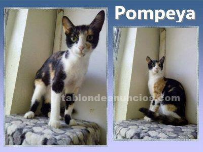 POMPEYA. Gata en Adopcion