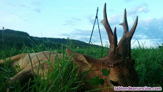 Rececho caza del corzo en sur de francia